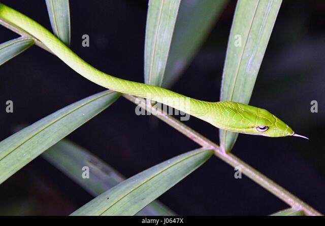 Oriental Whipsnake - Stock Image