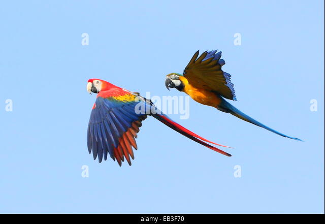 Scarlet Macaw Pair Stock Photos & Scarlet Macaw Pair Stock ...