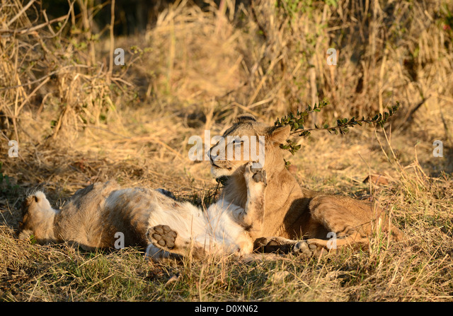 Africa, Zimbabwe, lion, animal, play, leo, wildlife, safari - Stock Image