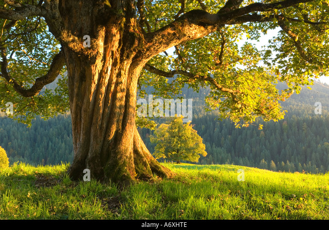 Switzerland berner Oberland Maple tree viewed in the evening light - Stock Image