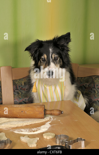 Border Collie making biscuits - Stock Image