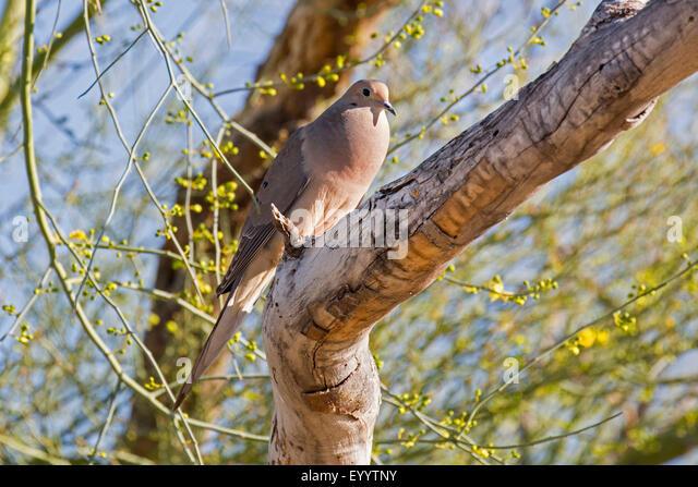 mourning dove (Zenaida macroura), male sits on a branch, USA, Arizona - Stock Image