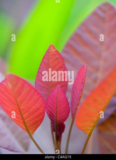 Cotinus grace leaves. Smoke bush leaf - Stock Image