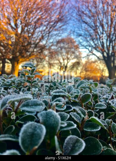 Frozen leaves on a hedge at sunrise with trees in the background - Stock Image
