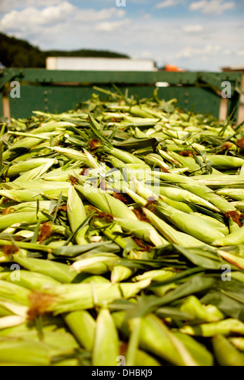 A trailer of harvested corn cobs, corn on the cob. Organic food ready for distribution. - Stock Image
