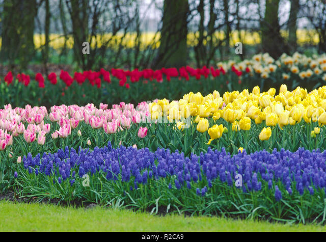 niederlande holland tulpen blumen feld stock photos. Black Bedroom Furniture Sets. Home Design Ideas