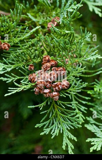 Lawson cypress, Port Orford cedar (Chamaecyparis lawsoniana), branch with cones - Stock Image