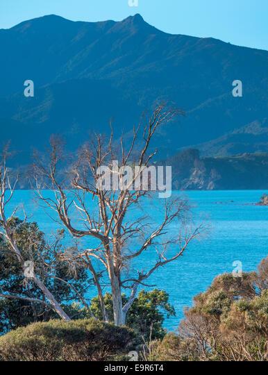 Dead tree, Waitete Bay, Coromandel, New Zealand - Stock Image