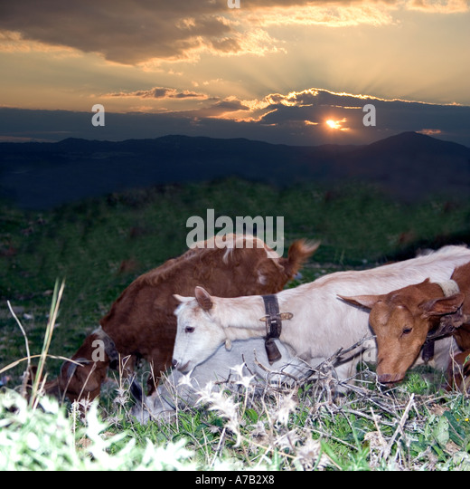 Goats at Sunset - Costa del Sol - Spain - Stock Image
