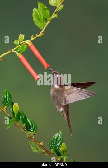 A Brown Inca hummingbird (Coeligena wilsoni) feeding at a flower while flying in the Tandayapa Valley of Ecuador. - Stock Image