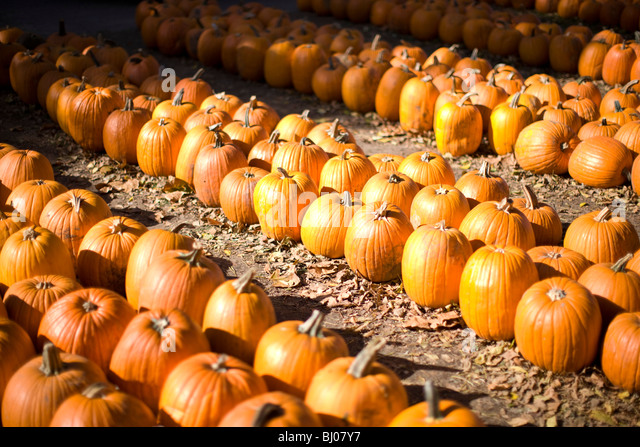 Rows of pumpkins at the pumpkin patch. - Stock Image