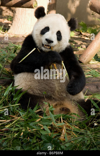 Cute Panda feeding on Bamboo in Chengdu China - Stock Image