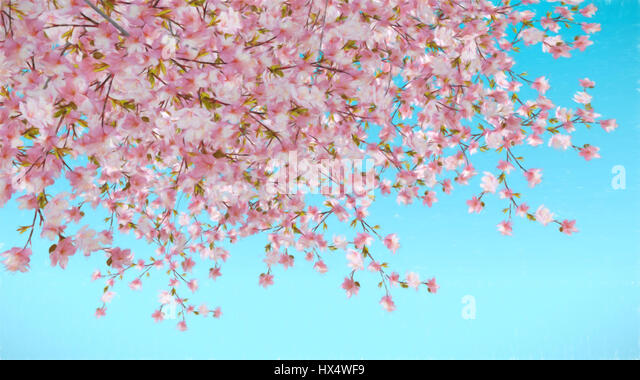 Painted abstract image of cherry blossom blue background - Stock Image