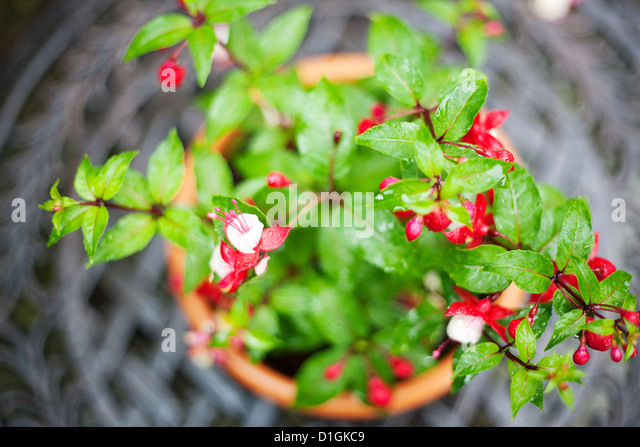 Close up of a pink and white Fuchsia plant - Stock Image