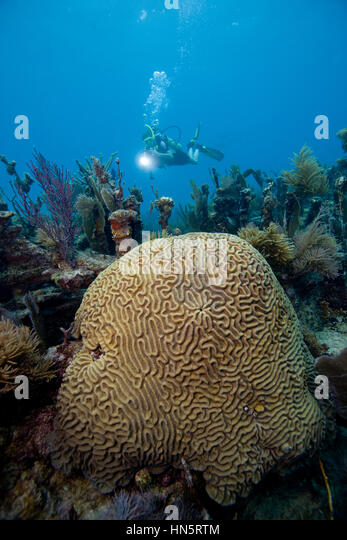 Teenage scuba diver approaches a small brain coral situated on a dive site known as the Civil War Wreck. - Stock-Bilder