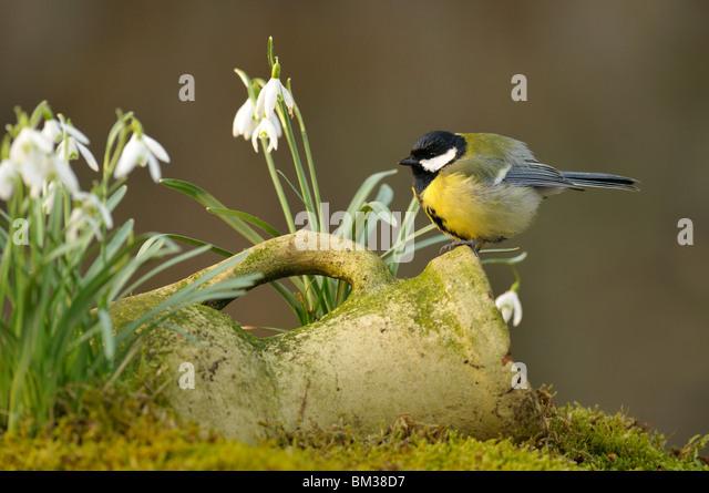 Great Tit (Parus major). Male perched on stone pot amongst flowering Snowdrops, Netherlands. - Stock-Bilder