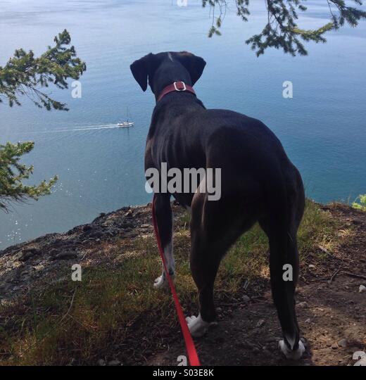 Dark brown dog high on cliff overlooking ocean with boat going by. - Stock Image