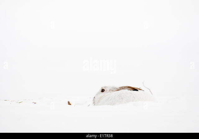 White Rabbit Outdoor Stock Photos Amp White Rabbit Outdoor
