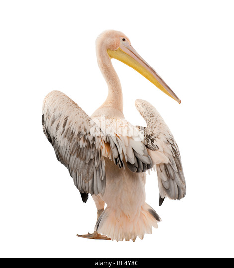 White Pelican, Pelecanus onocrotalus, 18 months old, in front of a white background, studio shot - Stock Image
