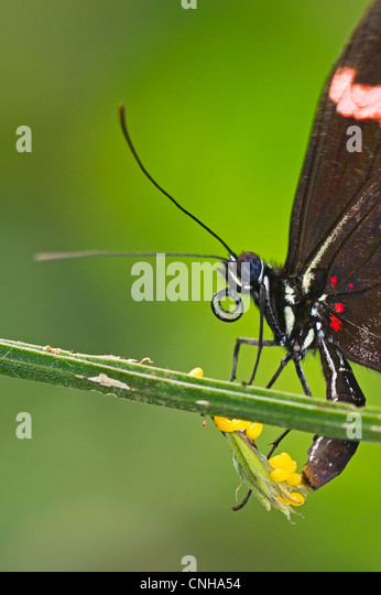 A Red Postman butterfly laying eggs - Stock Image
