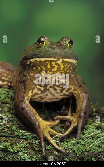 Tk0657, Thomas Kitchin; American Bullfrog. North America. Rana Catesbeiana. - Stock-Bilder