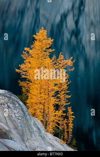 Alpine larch trees in autumn at Lake Viviane in The Enchantments, Alpine Lakes Wilderness, Washington. - Stock Image