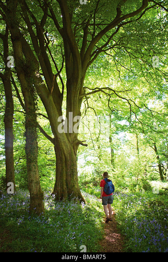 Walker on path through woods Coed Cadw Gray Hill in Wentwood Gwent Wales UK - Stock Image
