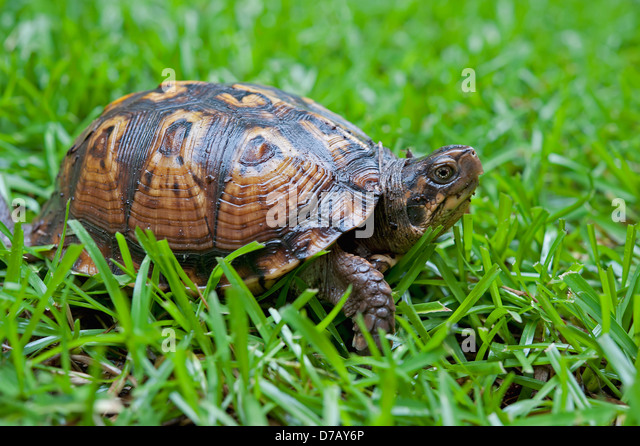 Tortoise In The Grass;Tuscaloosa Alabama United States Of America - Stock Image