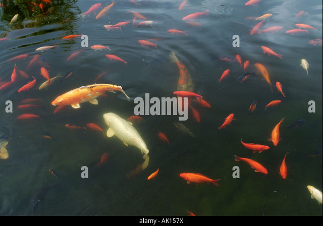 Ornamental fish pond stock photos ornamental fish pond for Ornamental pond fish golden