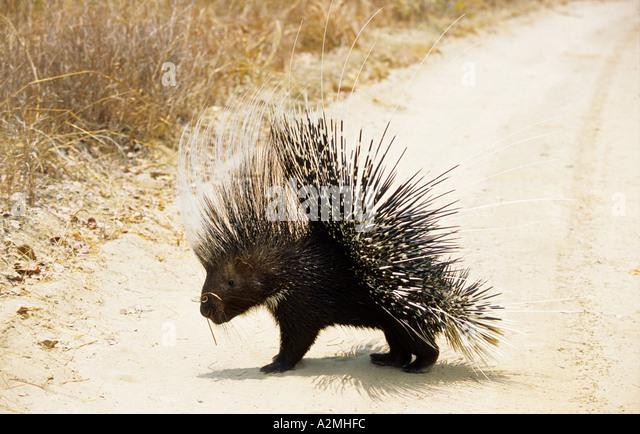 Crested Porcupine (HYSTRIX CRESTATA) - Stock Image