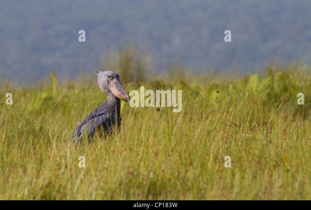 Shoebill Stork (Balanaeceps rex) at Mabamba Swamp, Uganda - Stock Image