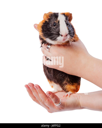 fluffy cavy pet standing on hands isolated on white - Stock Image