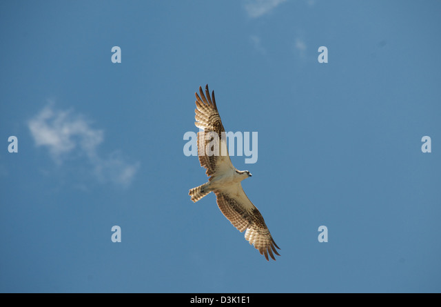 A view from below of a hawk with wings spread in flight - Stock Image