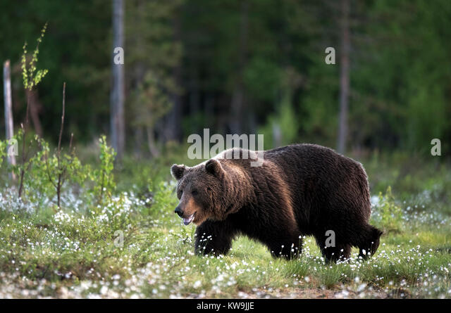 Eurasian Brown Bear, Finland, - Stock Image