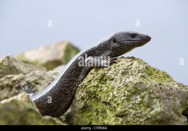Lizard, Dotted Galliwasp, Malpelo Island, National Park, Natural World Heritage Site, Colombia, East Pacific Ocean - Stock Image