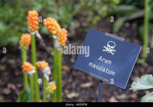 Alnwick England UK The Alnwick Garden The Poison Garden sign Arum maculatum - Stock Image