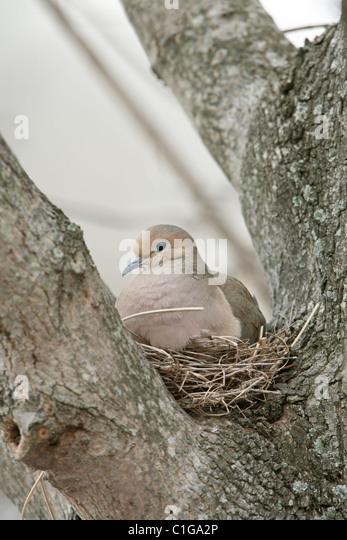 Mourning Dove on Nest - Stock Image