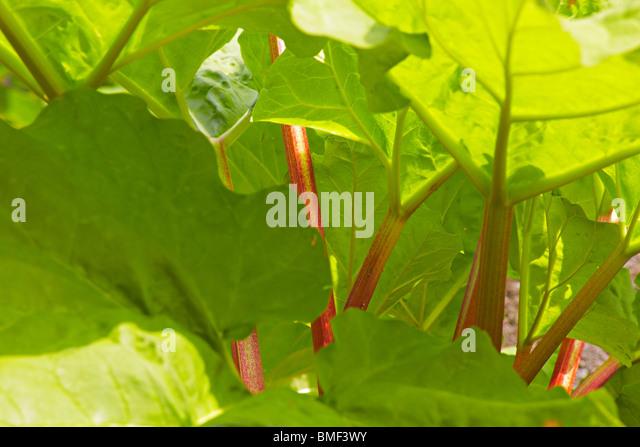 Organic Rhubarb in the garden - Stock Image