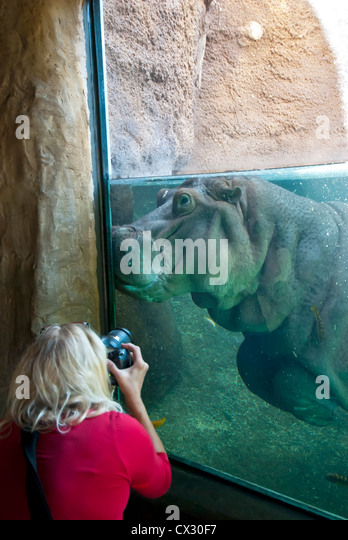 Wowman Takes Photo pf  hippopotamus underwater - Stock Image