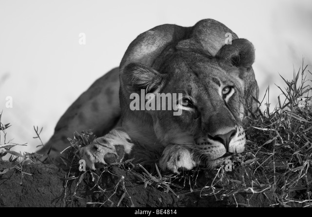 Lion (Panthero leo), Tuli Block, Botswana - Stock Image