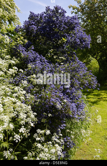Ceanothus (Caliifornian Lilac) and cow parsley in flower in Nottinghamshire garden, late May - Stock Image