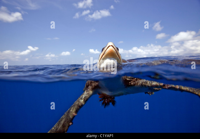 A split water view of a rare Ridley Sea Turtle at the Cocos Island off the coast of Costa Rica. - Stock-Bilder