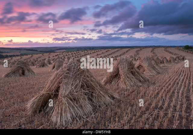Corn stooks for thatching, Devon, England. Summer (July) 2013. - Stock Image