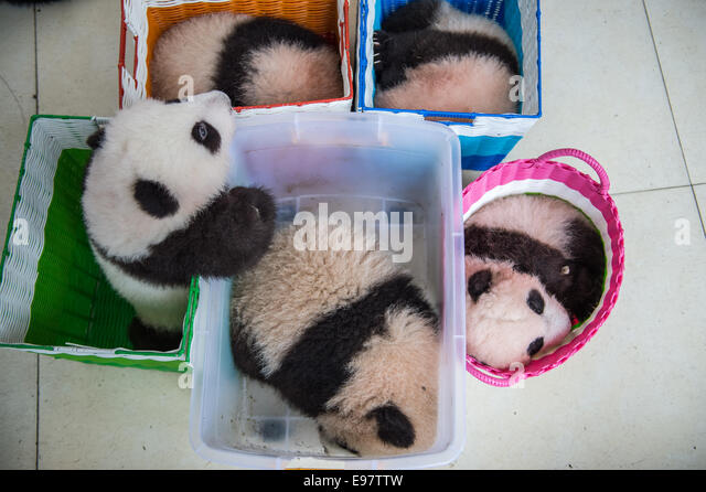 Baby pandas sit in a basket as they are moved from a building at the panda breeding center of Bifengxia Panda Base - Stock Image