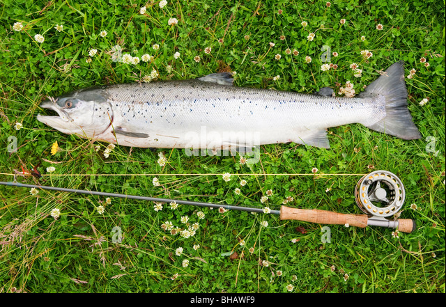 Large atlantic salmon on the river bank - Stock Image