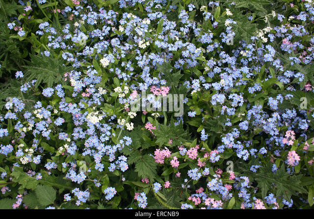 how to grow forget me nots