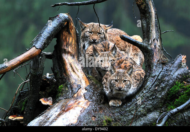 Lynx cat big cat predator cats wildcat big cats lynxes fur animals winter winter lynx snow Lynx lynx Eurasian lynx - Stock Image