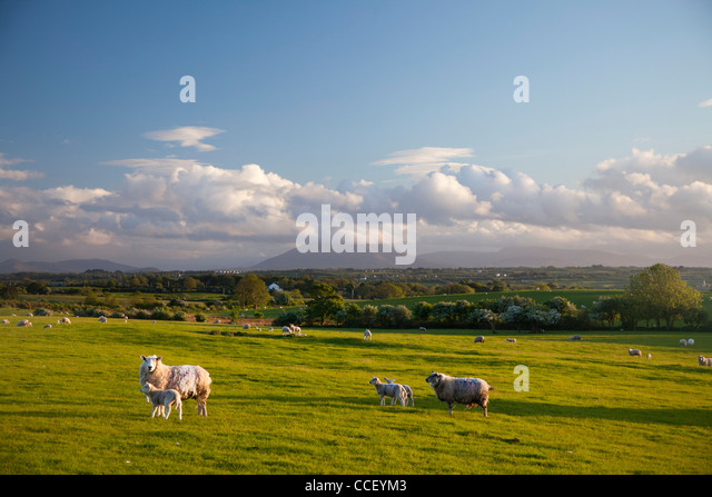 Sheep grazing beneath Nephin Mountain, County Sligo, Ireland. - Stock Image