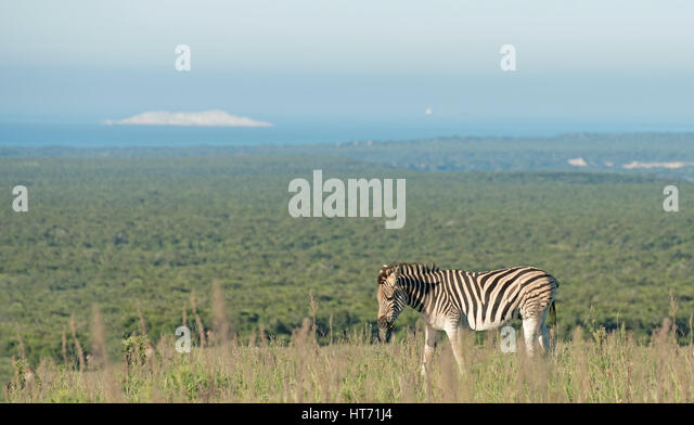 Zebra in the plains - Stock Image
