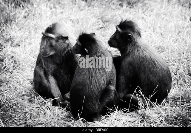 three monkeys in a group - Stock-Bilder